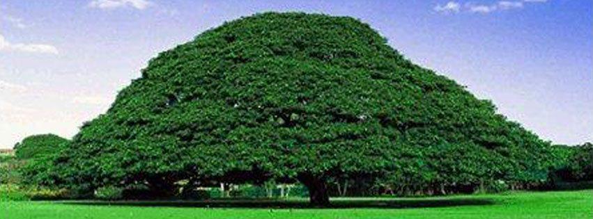 Photo - Oda tree