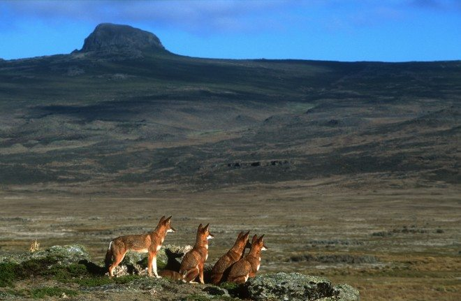 Photo - Ethiopian wolves, Canis simensis, Bale Mountains National Park